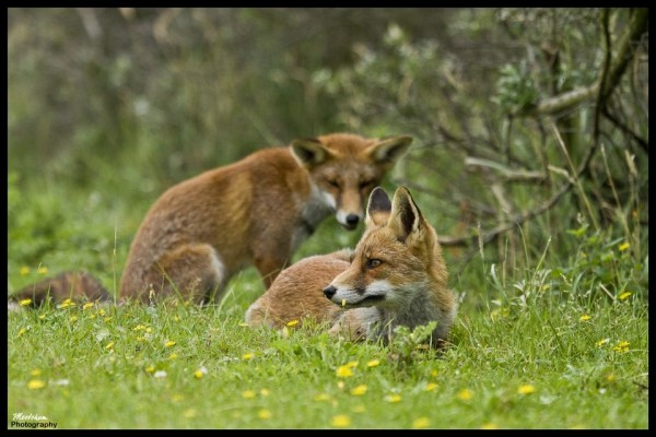 Juvenile foxes