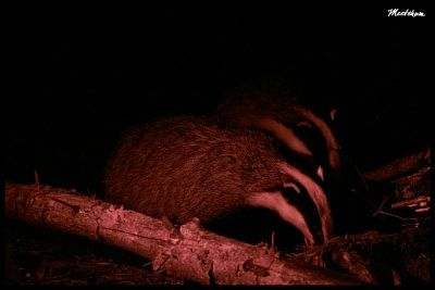 BadgerWatching1