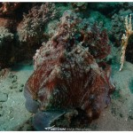 Octopus, Marsa Abu Dabbab, Red Sea, Egypt