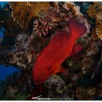Red spotted grouper and some lion fish, Marsa Abu Dabbab, Red Sea, Egypt