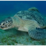 Green Sea turtle, Marsa Abu Dabbab, Red Sea, Egypt