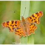Polygonia c-album (comma)