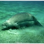 Dugong, Marsa Abu Dabbab, Red Sea, Egypt