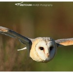 Barn owl caught in his flight.