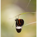 Mexican Heliconian (Heliconius hortense)