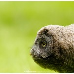 Juvenile great grey owl
