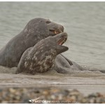2 grey seal playing around in the water
