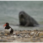 Oyster catcher siting on its chick with a grey seal in the back