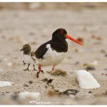 Oyster catcher with chick