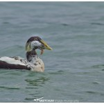 Common Eider with something wrong at its beak