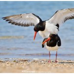 Mating oyster catchers