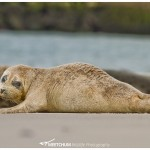 Juvenile Harbor seal