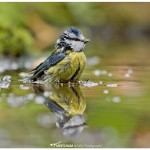 Blue tit taking a bath