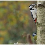 Great spotted woodpecker together with a blue tit