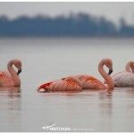 Dutch flamingos
