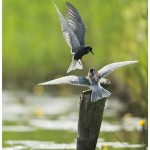 Black tern getting food from one of its parents