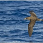 The Atlantic subspecies of the Cory's Shearwater.