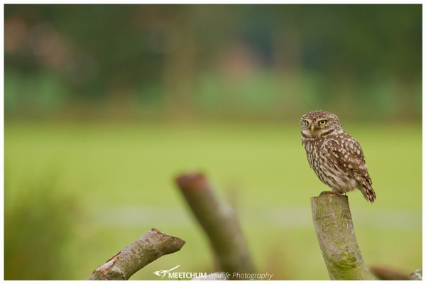 Steenuil - Little Owl