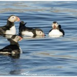 Puffins Meetchum Photography