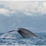 Blue whale - Meetchum Photography