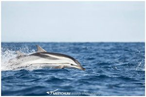 Striped dolphin - Meetchum Photography