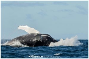 Humpback whale - Meetchum Photography