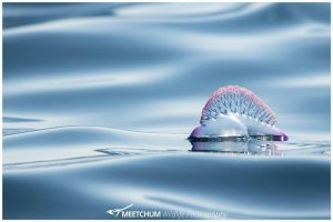 Portugese Man o War - Meetchum Photography