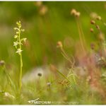 greater butterfly-orchids - Meetchum Photography